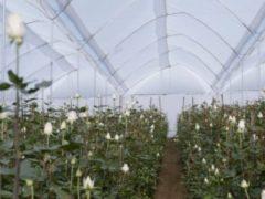 Таджикистанец в Эквадоре выращивает розы для 30 стран мира