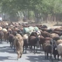 В Душанбе начались рейды по выявлению фактов содержания домашнего скота