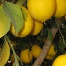 В Таджикистане лимоны подешевели в два раза. Фермеры терпят убытки. ВИДЕО